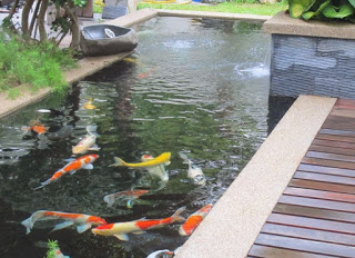 ikan koi, jasa buat kolam , kolam koi , kolam minimalis koi