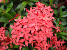 Ixora from Tihara