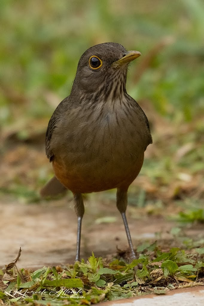 Zorzal colorado (Rufous-bellied Thrush) Turdus rufiventris