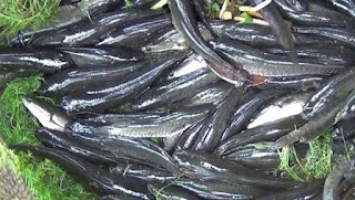 cara budidaya ikan kutuk,cara ternak ikan kutuk,cara beternak ikan kutuk,cara membudidayakan ikan kutuk,