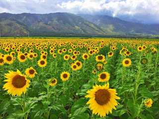 sunflowers day care