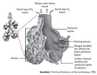 Proses pertukaran gas oksigen dan karbon dioksida