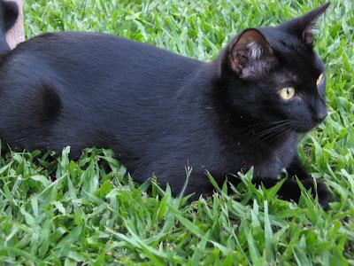 Gato Pirulito