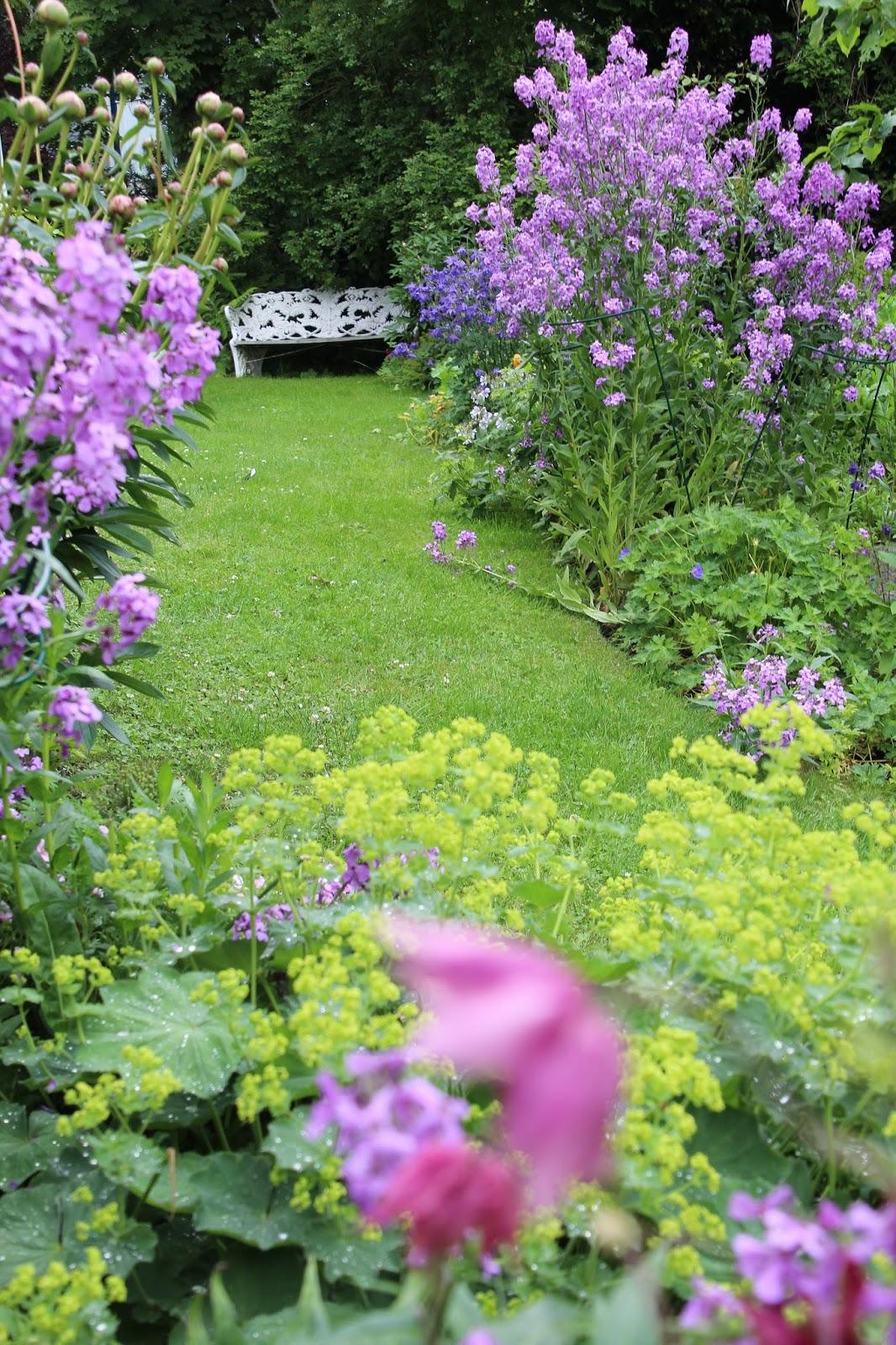 Trädgårdsnattviol bild