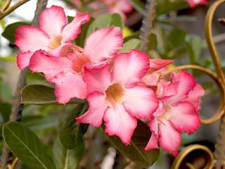 bunga azalea paling indah