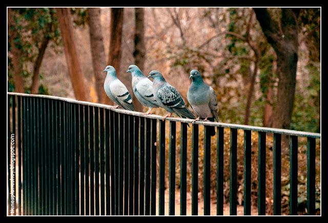 palomas La Quinta de la Fuente del Berro