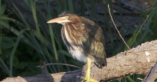 Day 7 with the Green Heron Family