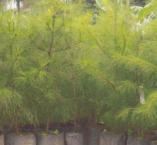 Tukang taman jual pohon cemara pinus