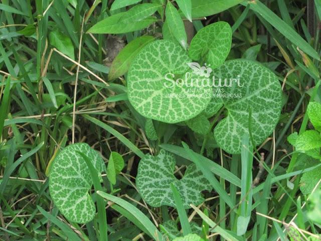 Aristolochia fimbriata  Flor de patito