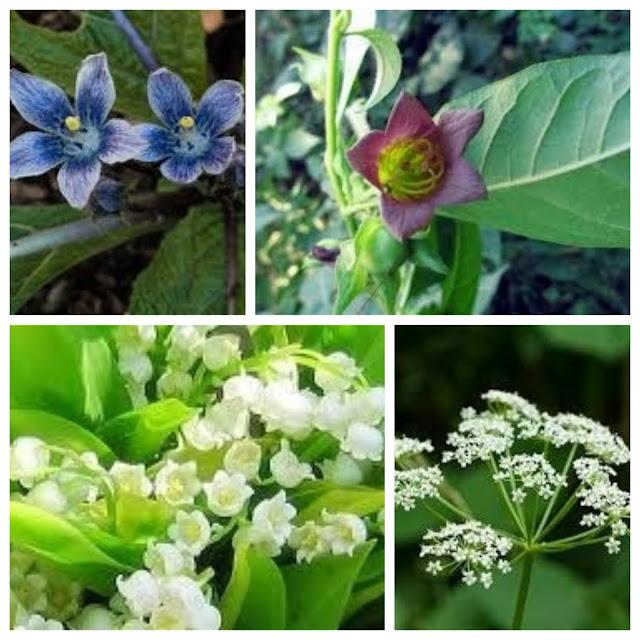 plantes toxiques