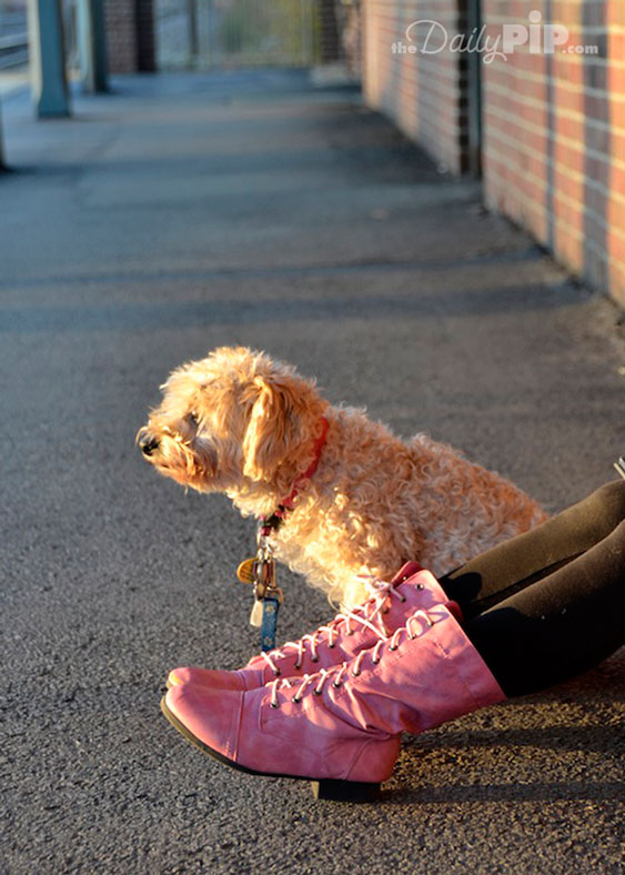 Yorkie Poo Dog waits for his family when pink meets black