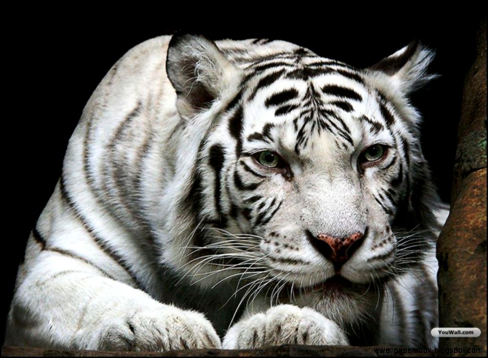 animal wallpaper white tiger hd wallpapers wallpapers box
