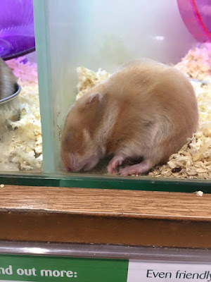 pets at home, syrian hamster, sick,