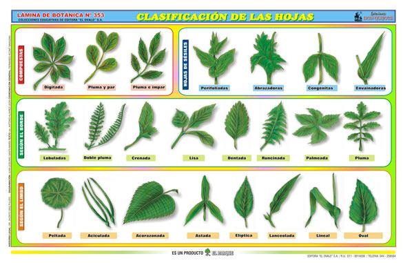 Biolog a did ctica clasificaci n de las hojas pamer 1 - Clase de flores y sus nombres ...