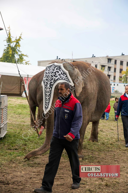 accompagné d'un cornac les éléphants arrivent au chapiteau
