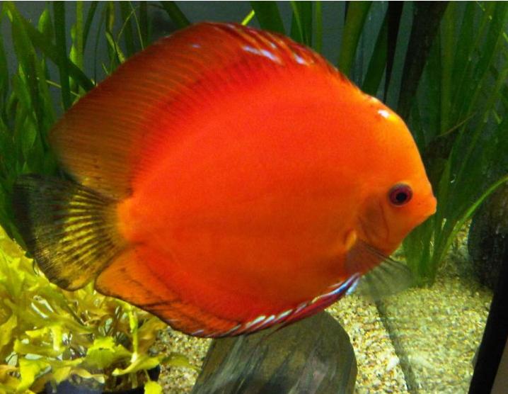 Jenis dan Harga Ikan Discus