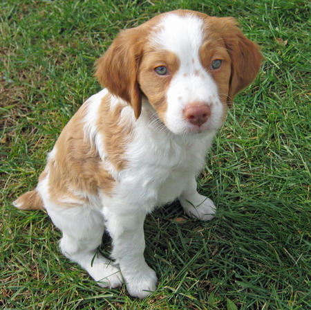 About Dog Brittany Dog