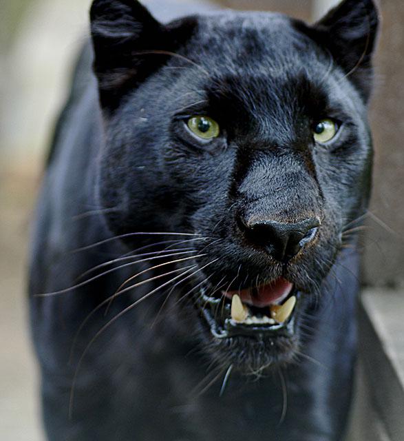 imagens pantera negra