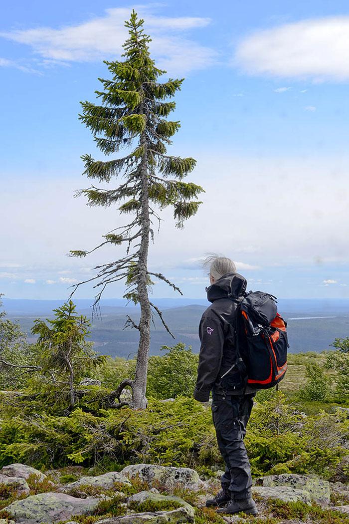 omorfos-kosmos.gr - Βέθηκε στη Σουηδία το αρχαιότερο δέντρο του Κόσμου - 9.500 ετών!