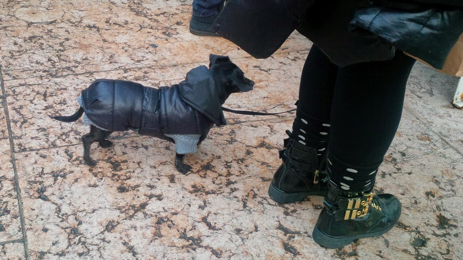 A dog is wearing a jumper and a puffa jacket to keep warm