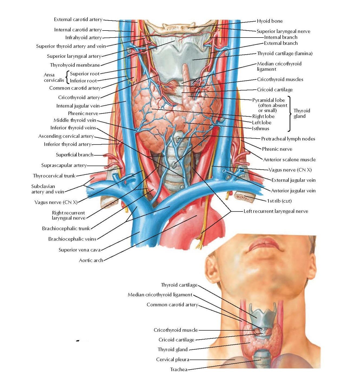 The Larynx Netter Anatomy Atlas Topsimages