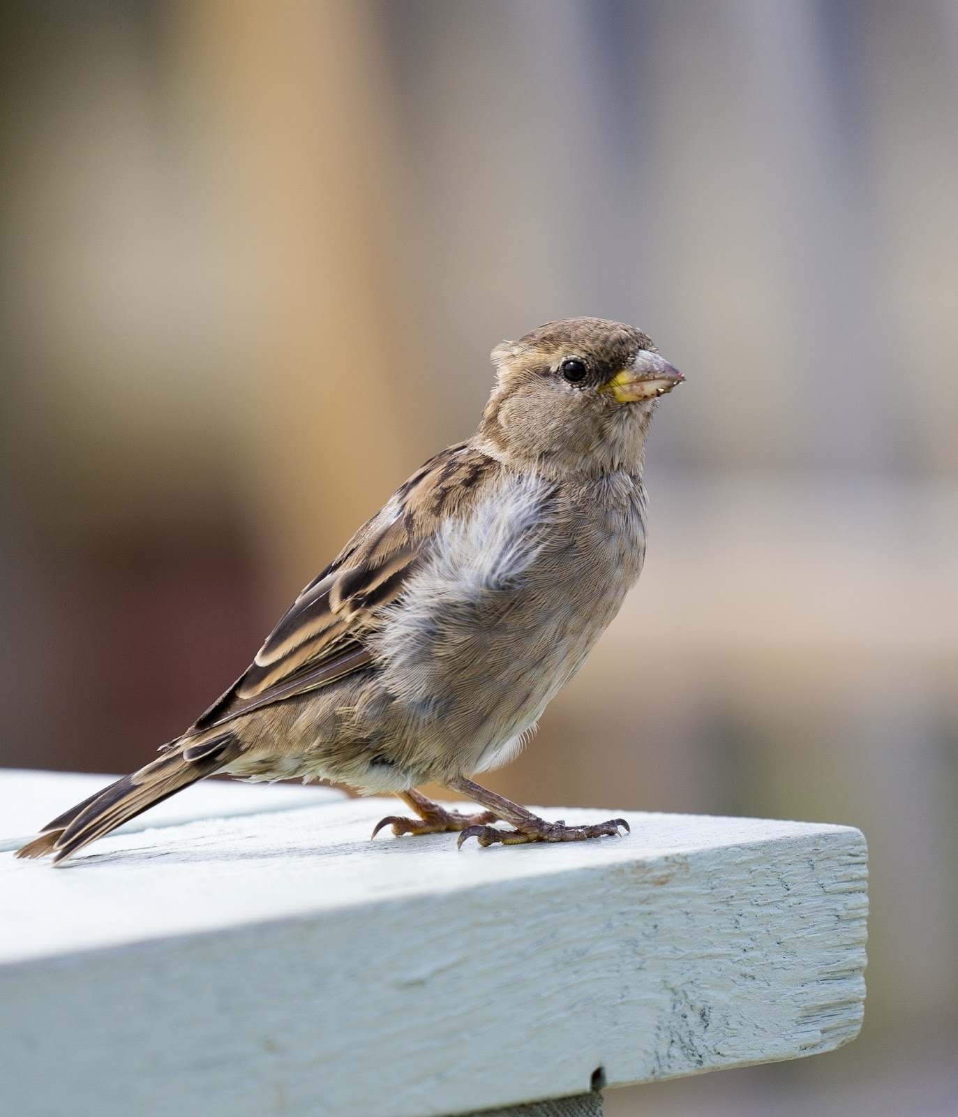 Picture of a sparrow on a wooden plank.
