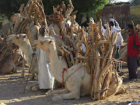 Camels transporting firewood in Morocco