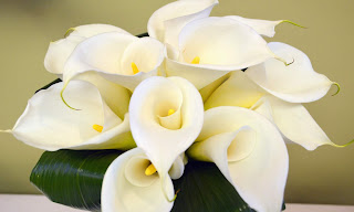 Calla Lily UHD Wallpapers