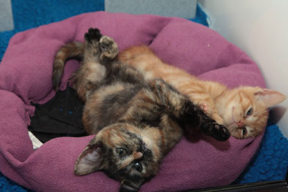 Littermate kittens