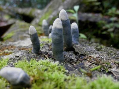 Jamur Ini Mirip Banget Jari Tangan Manusia, Paling Unik Sejagad