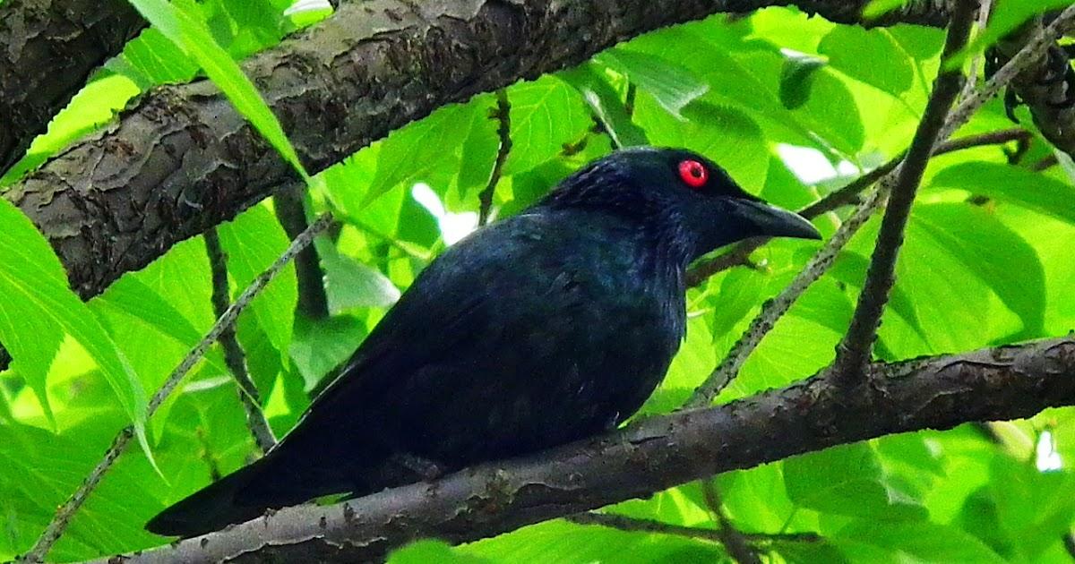 賞鳥: 亞洲輝椋鳥(Asian Glossy Starling), 馬來西亞動物照片