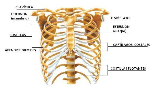 Cuales son los huesos que conforman la caja toracica