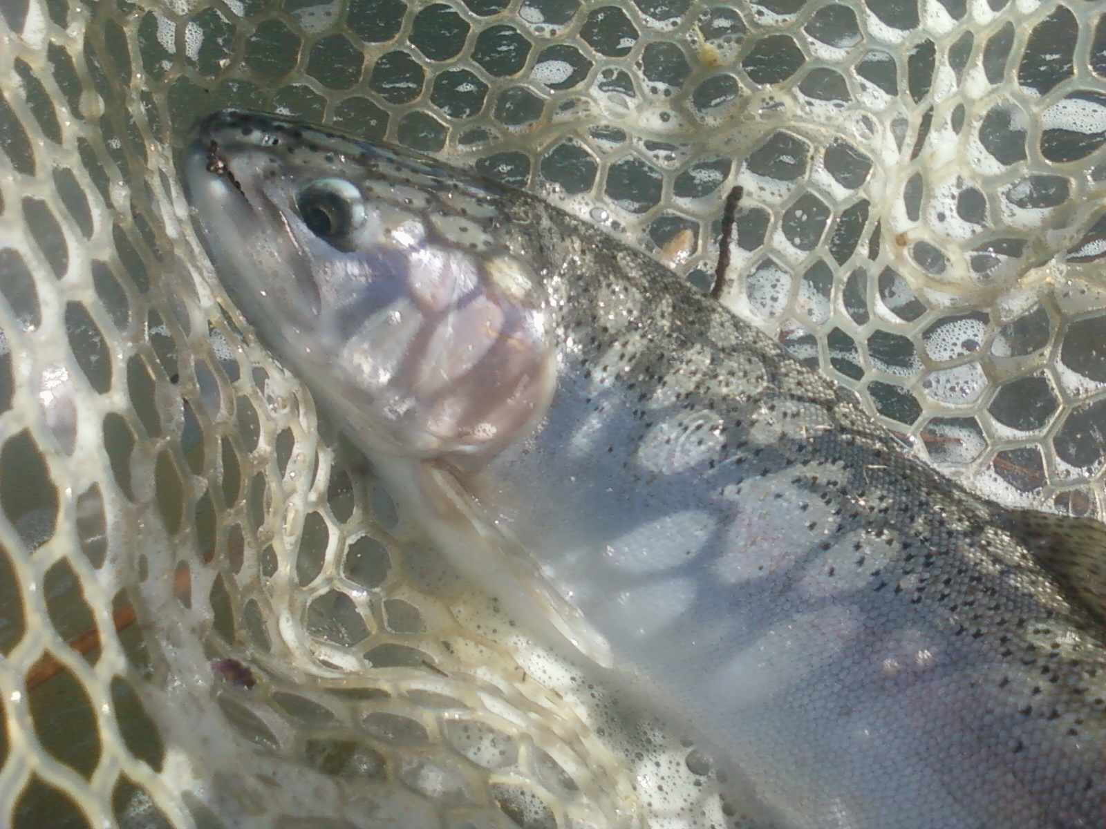Rob russell 39 s northern california fly fishing putah creek for Fly fishing northern california