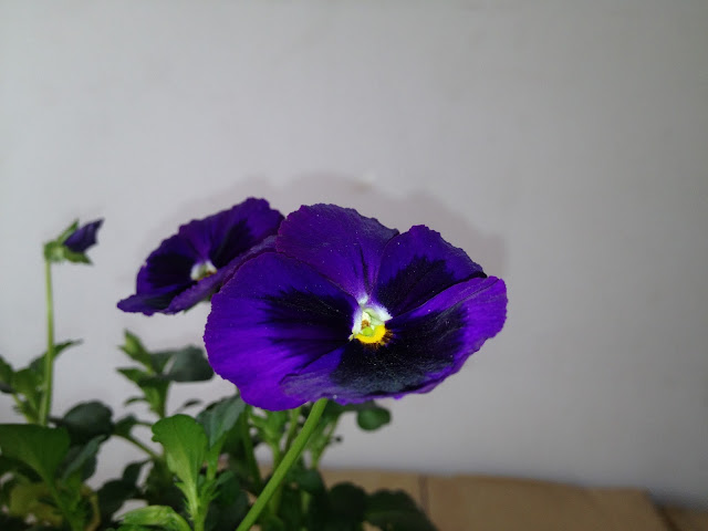 Black Violet color flower