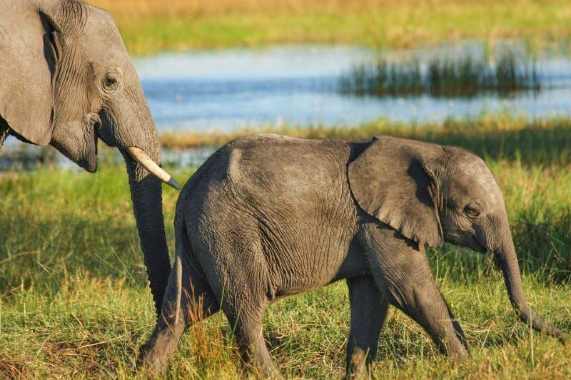 Elefante e cria