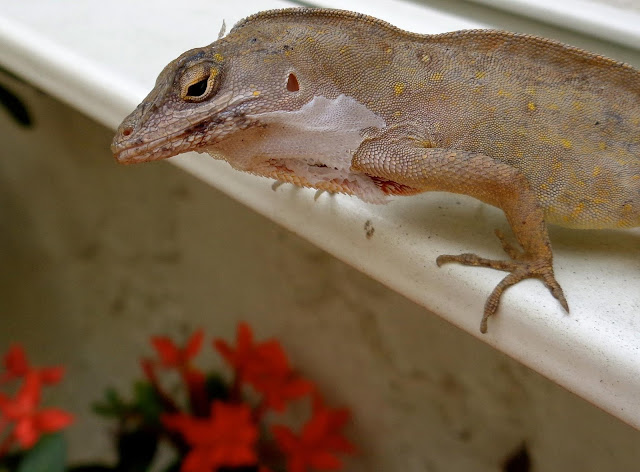 Brown anole shedding its skin