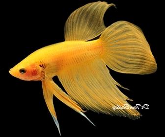 Ikan cupang hias cianjurupdate