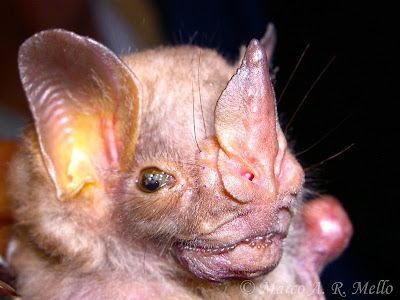 Murciélago hombros blancos Pygoderma bilabiatum