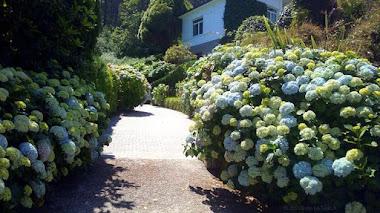 Hablando de hortensias. Hydrangea macrophylla