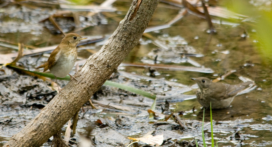 Nutty Birder: Thrush Identification: A Quiz