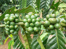 Green Coffee benefits for health and weight loss- Njkinny's Blog