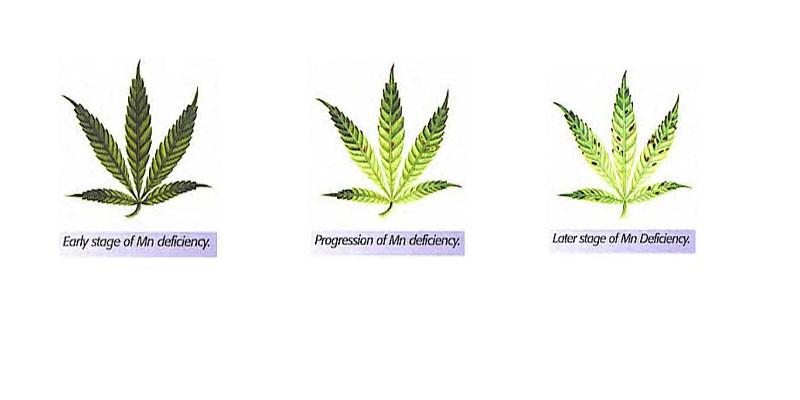 Marijuana  What Is It Looking Like  New Health Advisor