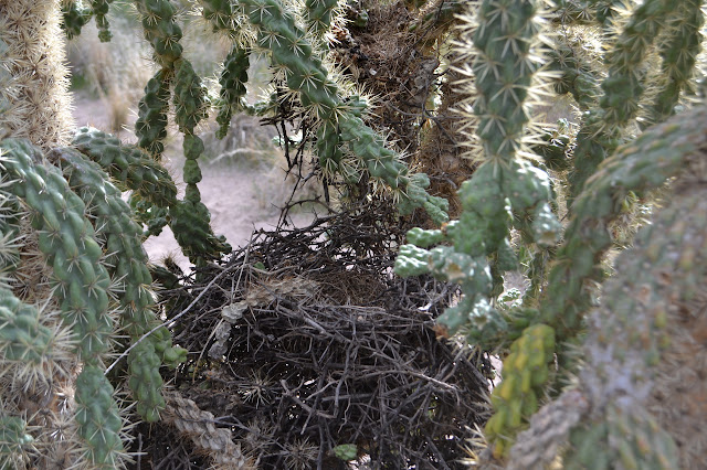 bird nests in a cholla