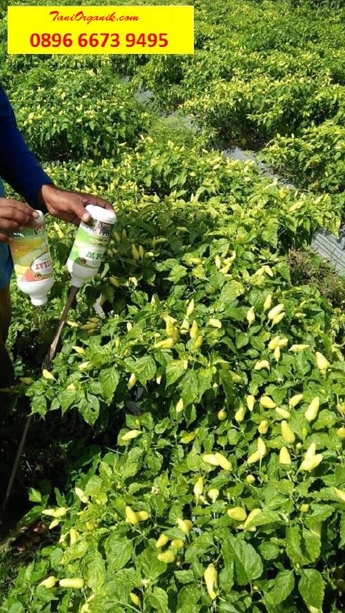 Ibu Ichmyati nampaknya memangkas pucuk bagian atasnya waktu tanaman masih muda agar tanaman tidak tumbuh tinggi.