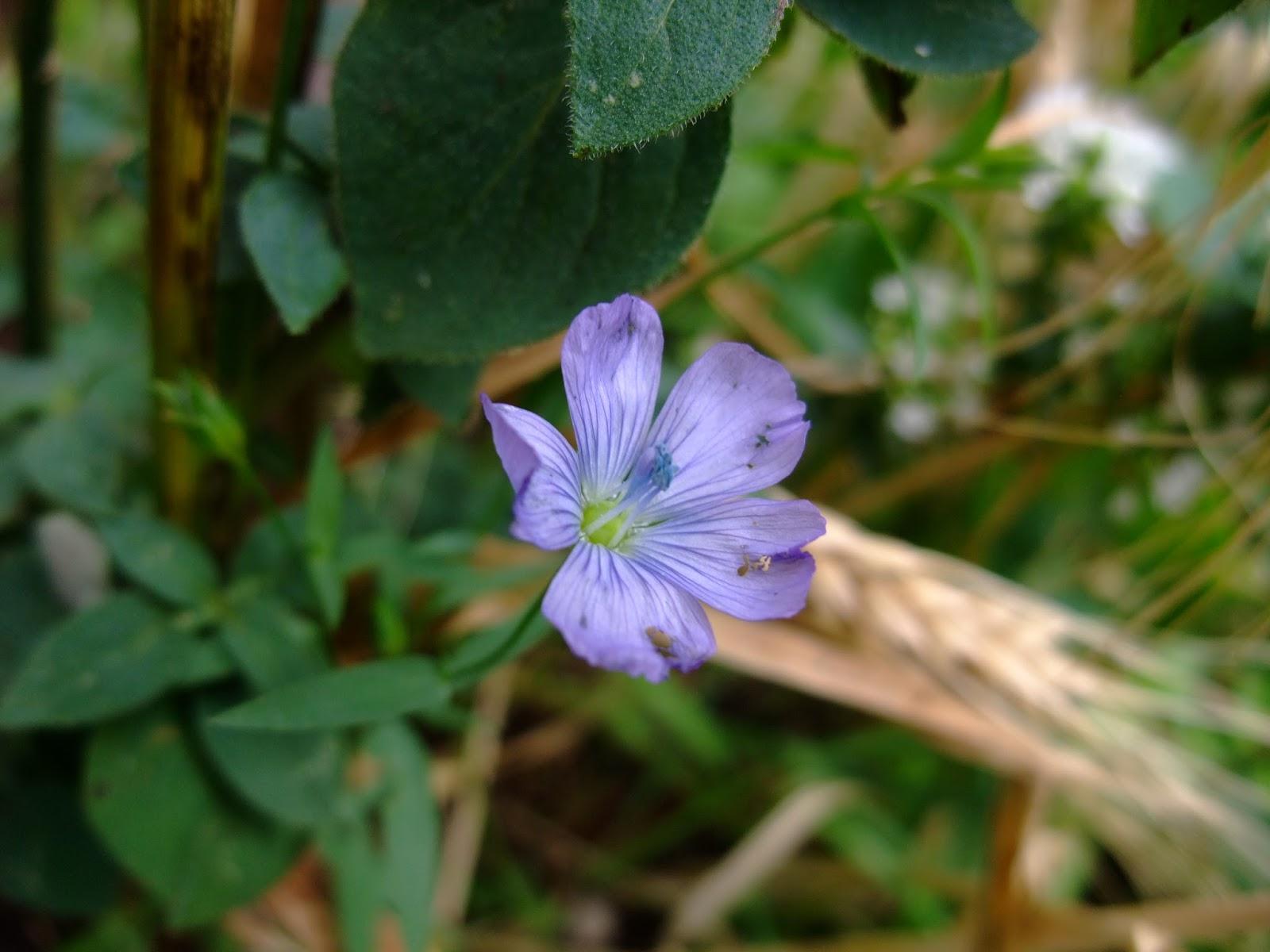 HERBAL PICNIC: LINSEED FLOWER / FLAX SEED