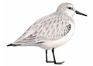 https://www.xeno-canto.org/sounds/uploaded/ZNCDXTUOFL/XC284656-Piaskowiec_Calidris_alba_Poland_Jarek_Matusiak_20150919_43.mp3