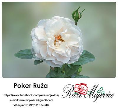Ruža Poker - Romatična, nežna, mirisna