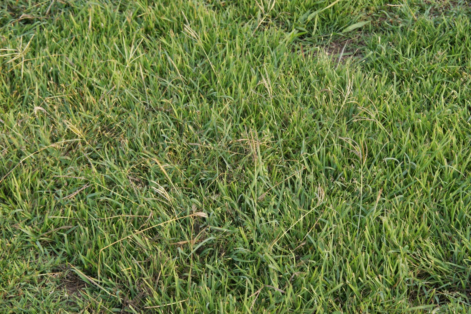 Abovecapricorn Zenith Zoysia Seed To Develop A New Oval In The Tropics Part 4 Maturing The Grass