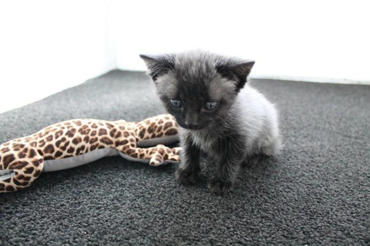 a survivor kitten