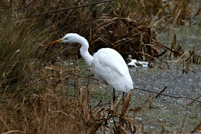 Great heron on frozen pond